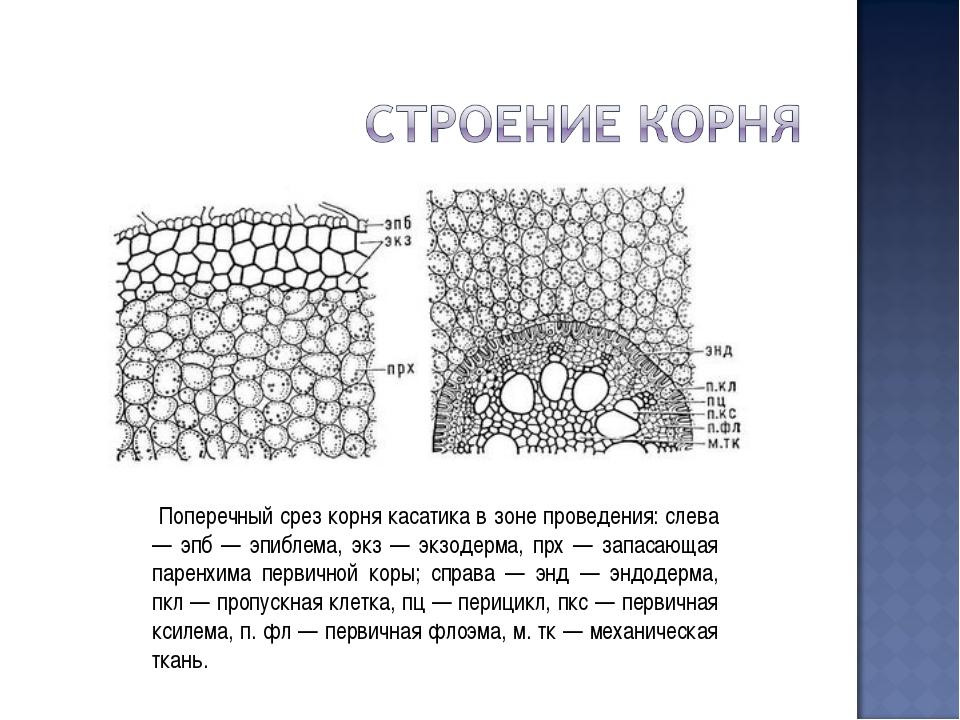 Поперечный срез корня касатика в зоне проведения: слева — эпб — эпиблема, эк...