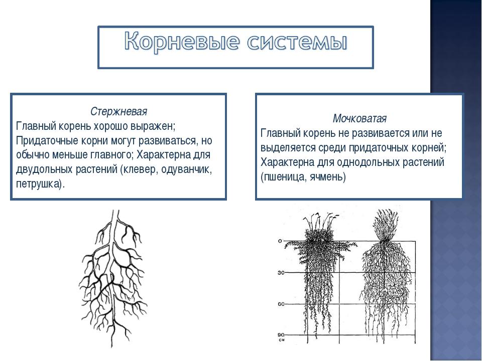 Стержневая Главный корень хорошо выражен; Придаточные корни могут развиваться...
