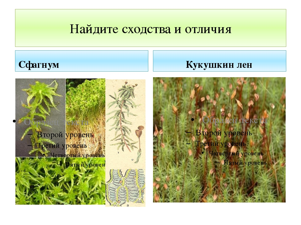 Найдите сходства и отличия Сфагнум Кукушкин лен