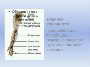 Верхние конечности соединяются с туловищем с помощью плечевого сустава, лоп