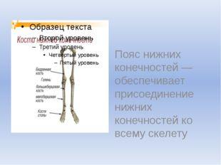 Пояс нижних конечностей — обеспечивает присоединение нижних конечностей ко в