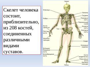 Скелет человека состоит, приблизительно, из 208 костей, соединенных различным