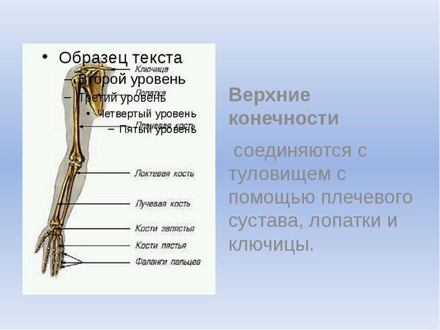 Верхние конечности соединяются с туловищем с помощью плечевого сустава, лоп...