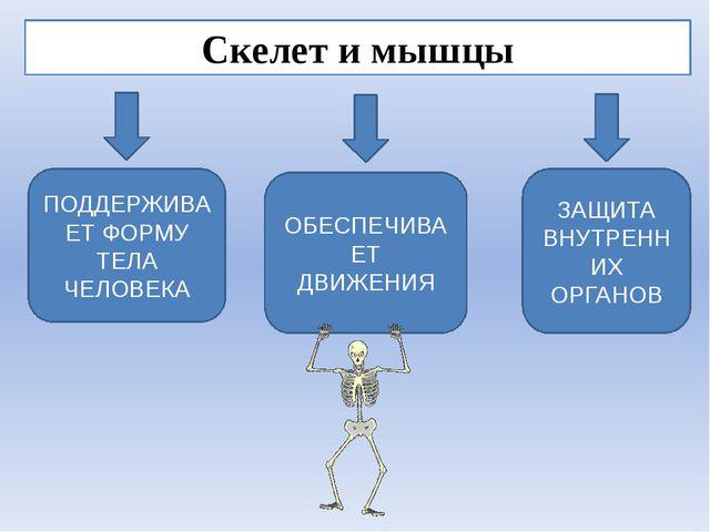 Скелет и мышцы ЗАЩИТА ВНУТРЕННИХ ОРГАНОВ ПОДДЕРЖИВАЕТ ФОРМУ ТЕЛА ЧЕЛОВЕКА ОБЕ...