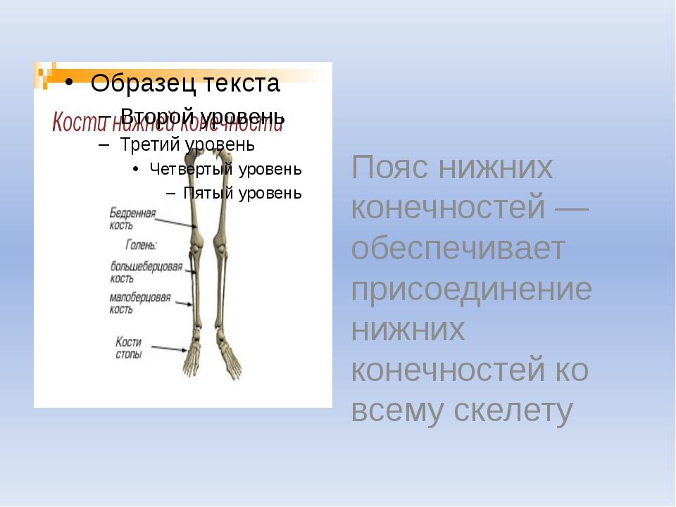 Пояс нижних конечностей — обеспечивает присоединение нижних конечностей ко в...