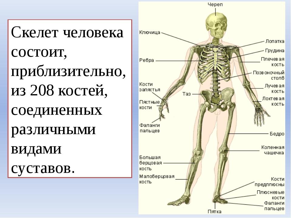 Скелет человека состоит, приблизительно, из 208 костей, соединенных различным...