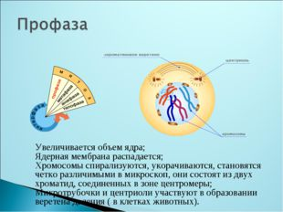 Увеличивается объем ядра; Ядерная мембрана распадается; Хромосомы спирализуют