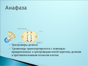 Центромеры делятся Хроматиды транспортируются с помощью прикрепленных к центр
