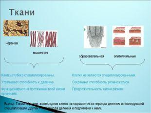 нервная мышечная образовательная эпителиальные Клетки глубоко специализирован