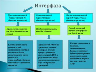 Пресинтетический период (период до удвоения хромосом) Синтетический период (п