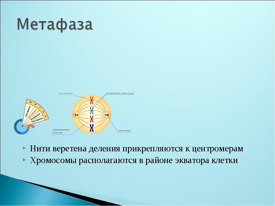 Нити веретена деления прикрепляются к центромерам Хромосомы располагаются в р...