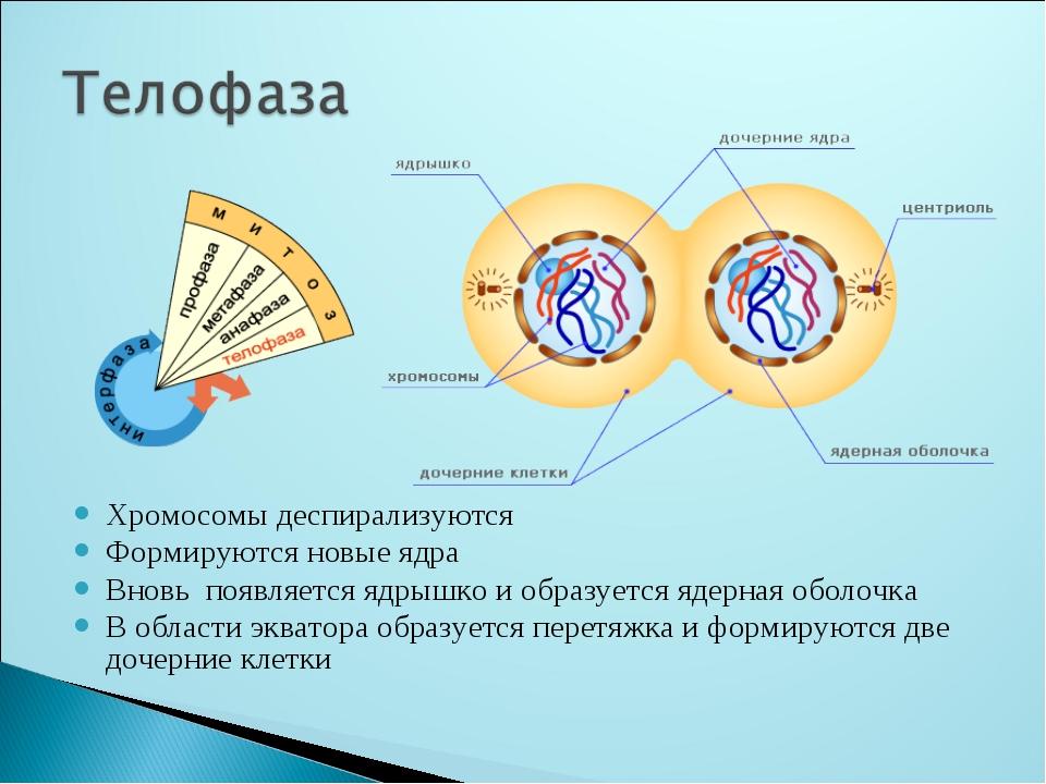 Хромосомы деспирализуются Формируются новые ядра Вновь появляется ядрышко и о...