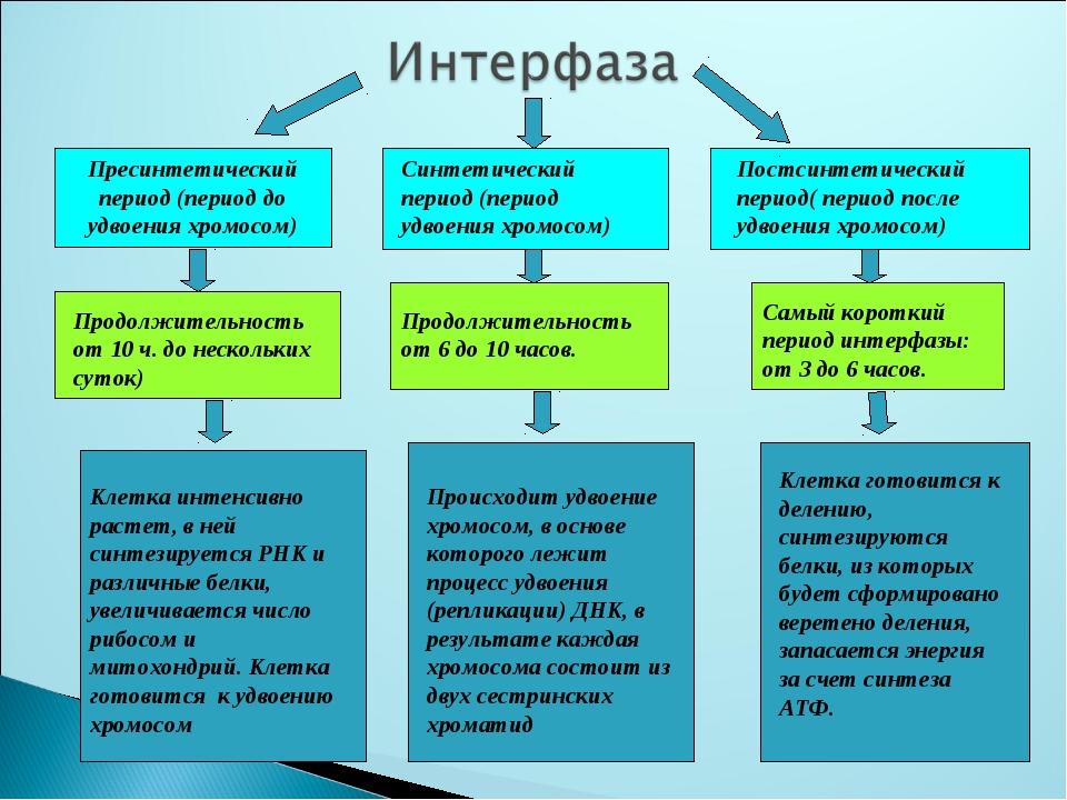 Пресинтетический период (период до удвоения хромосом) Синтетический период (п...