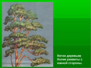Ветки деревьев более развиты с южной стороны.