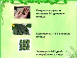 Пикули – получили название 2-3 дневные плоды . Корнишоны – 4-5 дневные плоды