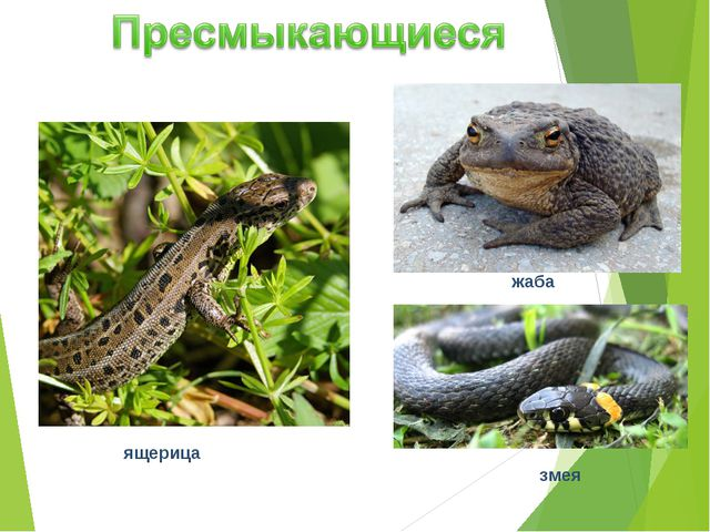 ящерица жаба змея