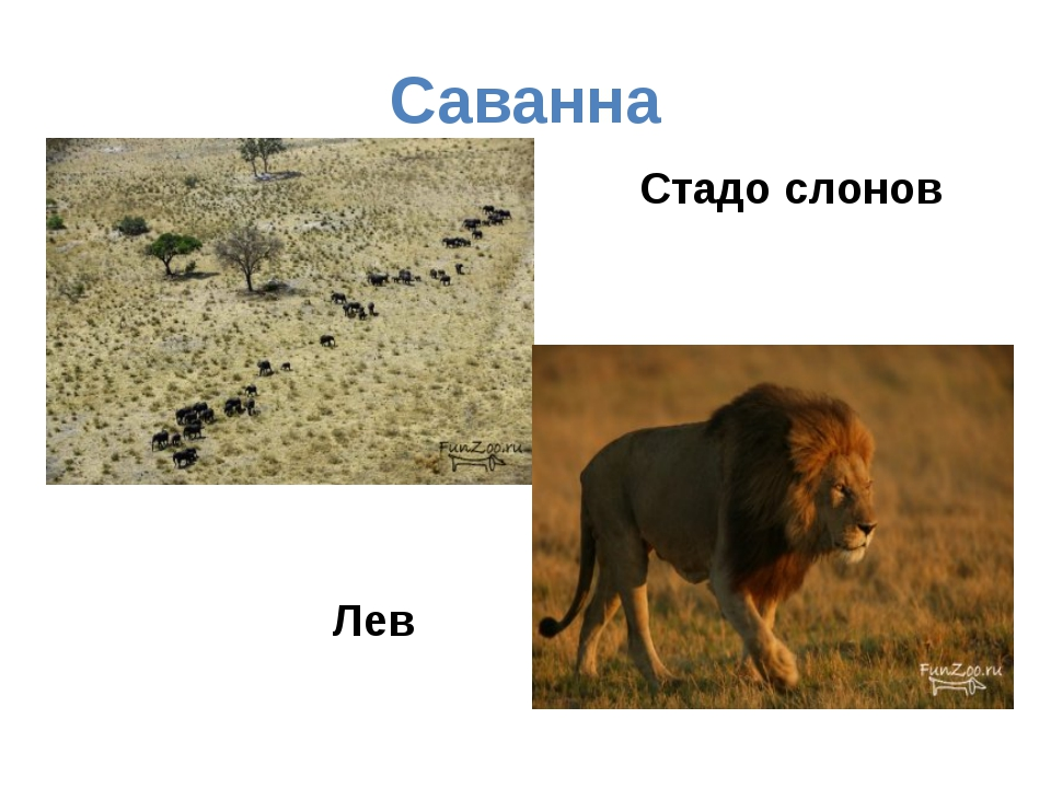Саванна Стадо слонов Лев