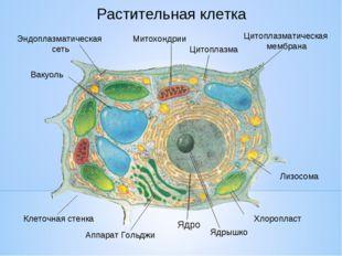 Растительная клетка Хлоропласт Лизосома Клеточная стенка Аппарат Гольджи Ядры