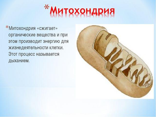 Митохондрия «сжигает» органические вещества и при этом производит энергию для...