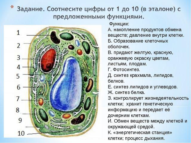 Функции: А. накопление продуктов обмена веществ; давление внутри клетки. Б....