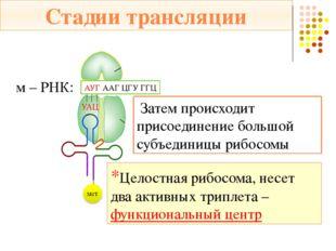 Стадии трансляции м – РНК: АУГ – ААГ – ЦГУ – ГГЦ … 2. Элонгация - сборка моле