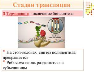 ДНК *Содержит информацию о первичной структуре белка *Служит матрицей для син