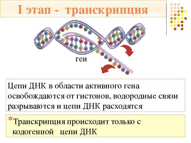 I этап - транскрипция Транскрипция происходит с помощью фермента ДНК-полимера...