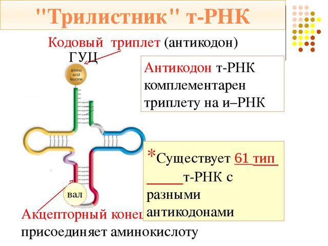 Стадии трансляции м – РНК: АУГ ААГ ЦГУ ГГЦ Затем происходит присоединение бол...