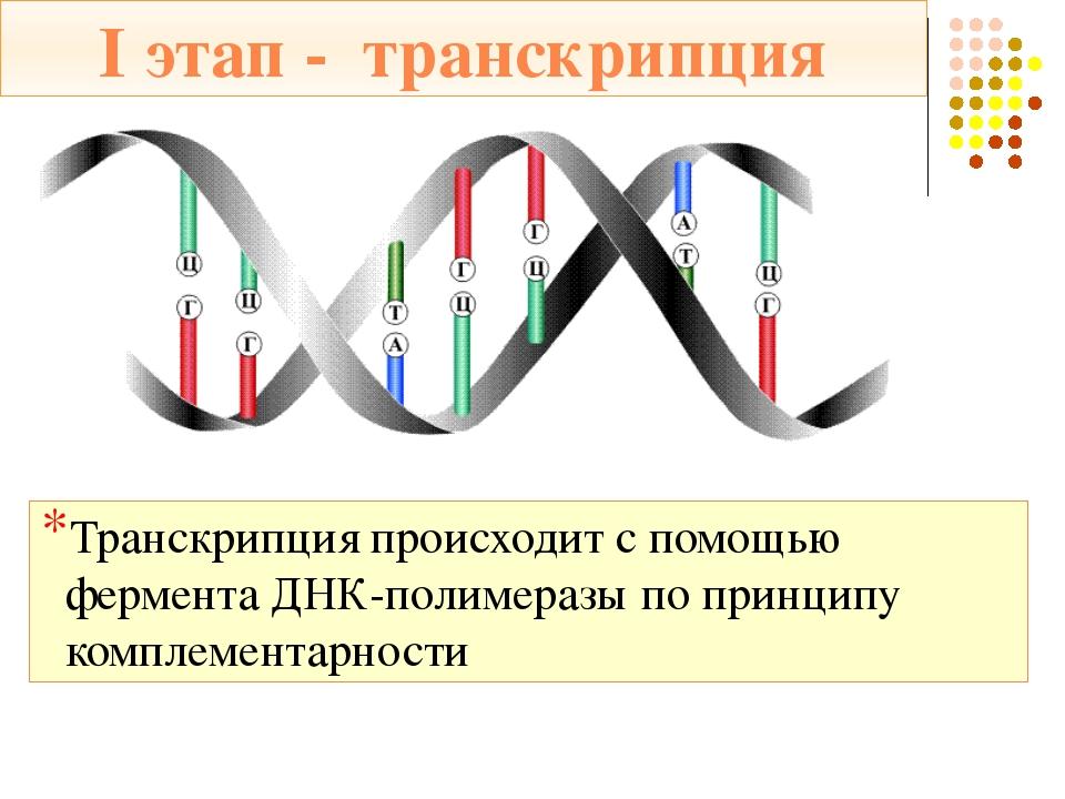 и-РНК переносит информацию из ядра на рибосомы и становится матричной РНК (м-...