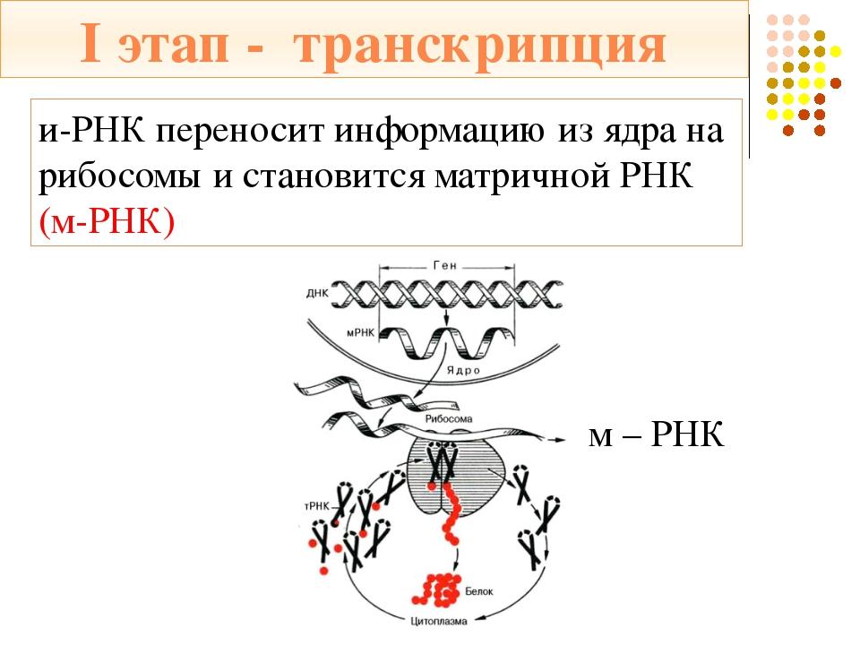 """""""Трилистник"""" т-РНК и-РНК *Состоит из 75 нуклеотидов и имеет вид """"клеверного л..."""