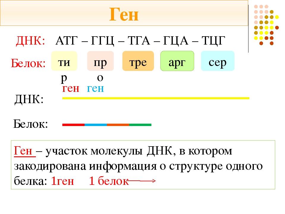 ДНК: АТГ – ГГЦ – ТГА – ГЦА – ТЦГ Белок: тир про тре арг сер ДНК: Белок: ген Г...