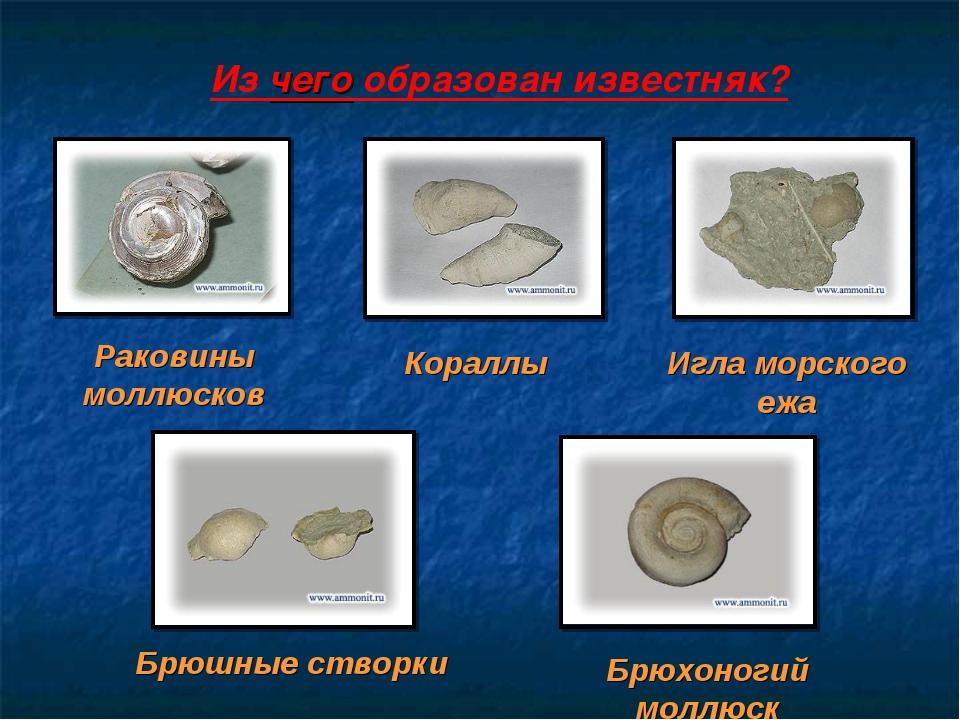 Из чего образован известняк? Раковины моллюсков Кораллы Игла морского ежа Брю...