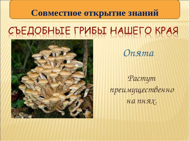 Опята  Растут преимущественно на пнях. Совместное открытие знаний