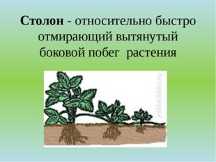 Столон - относительно быстро отмирающий вытянутый боковойпобег растения
