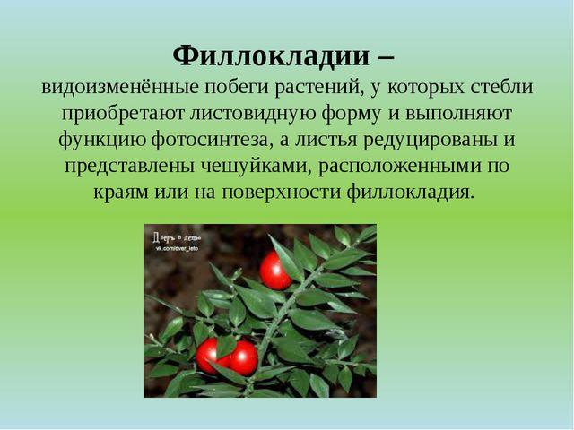 Филлокладии – видоизменённые побеги растений, у которых стебли приобретают ли...