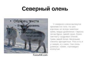 Северный олень У северного оленя вытянутое приземистое тело. На шее короткая,