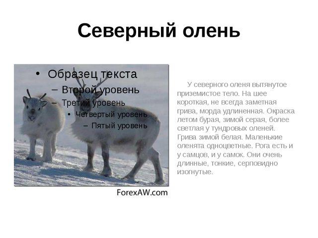 Северный олень У северного оленя вытянутое приземистое тело. На шее короткая,...