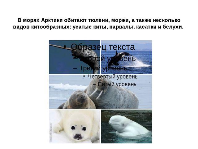 В морях Арктики обитают тюлени, моржи, а также несколько видов китообразных:...