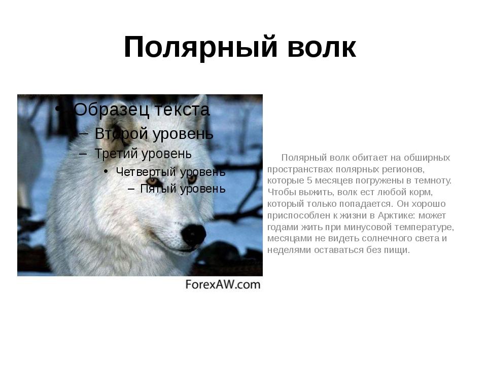 Полярный волк Полярный волк обитает на обширных пространствах полярных регион...