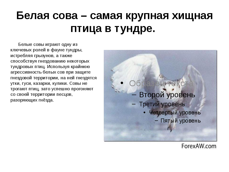 Белая сова – самая крупная хищная птица в тундре. Белые совы играют одну из к...
