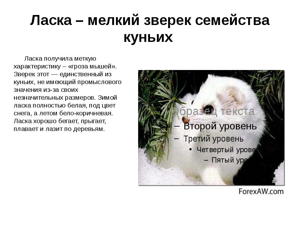 Ласка – мелкий зверек семейства куньих Ласка получила меткую характеристику –...