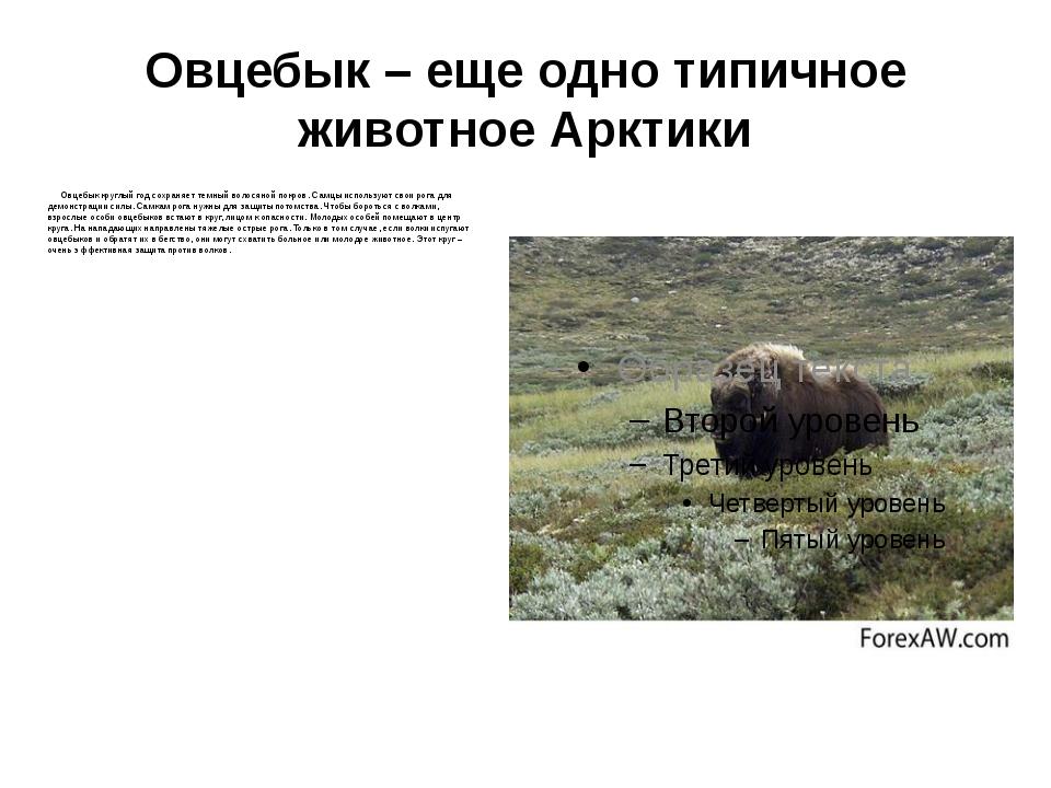 Овцебык – еще одно типичное животное Арктики Овцебык круглый год сохраняет те...