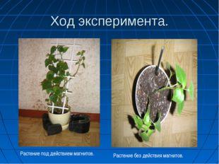 Ход эксперимента. Растение под действием магнитов. Растение без действия магн