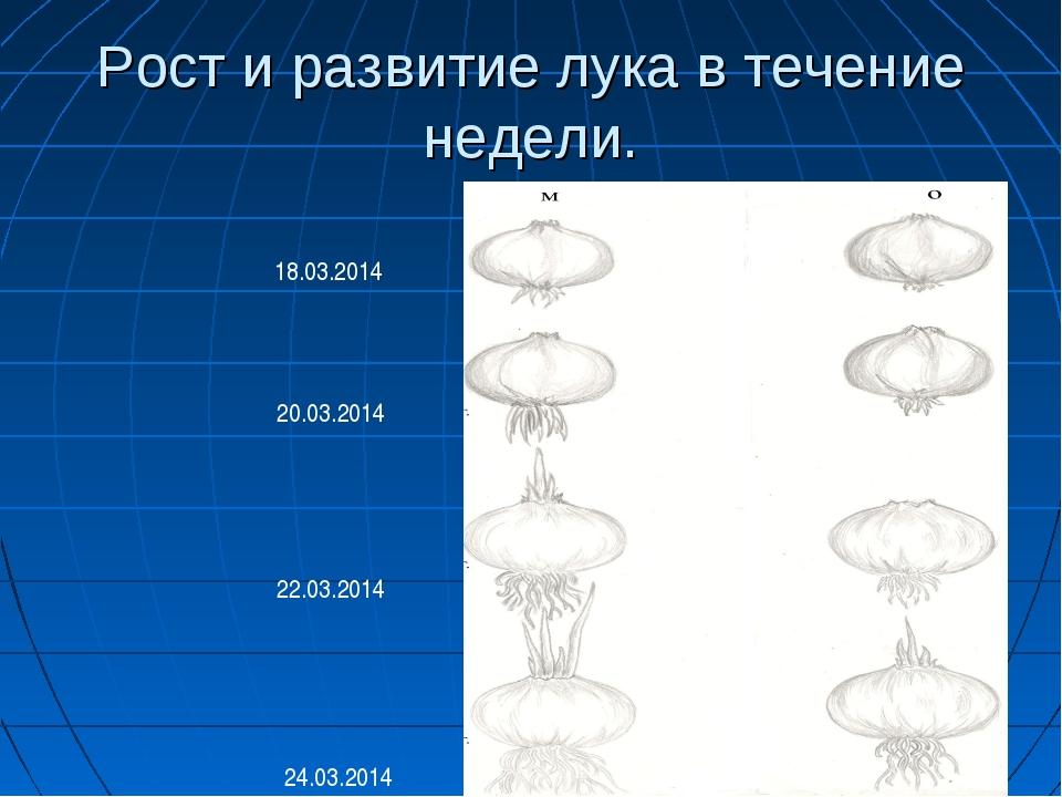 Рост и развитие лука в течение недели. 18.03.2014 20.03.2014 22.03.2014 24.03...