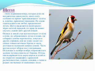 Щегол - очень подвижная птица, которая долго не находится на одном месте, мн