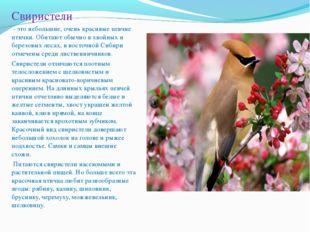 Свиристели - это небольшие, очень красивые певчие птички. Обитают обычно в хв