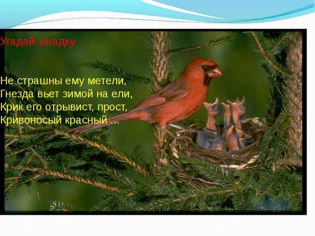 Угадай загадку Не страшны ему метели, Гнезда вьет зимой на ели, Крик его о...