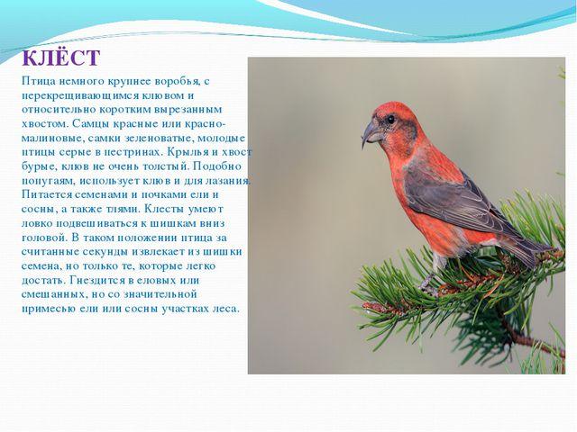 КЛЁСТ Птица немного крупнее воробья, с перекрещивающимся клювом и относитель...