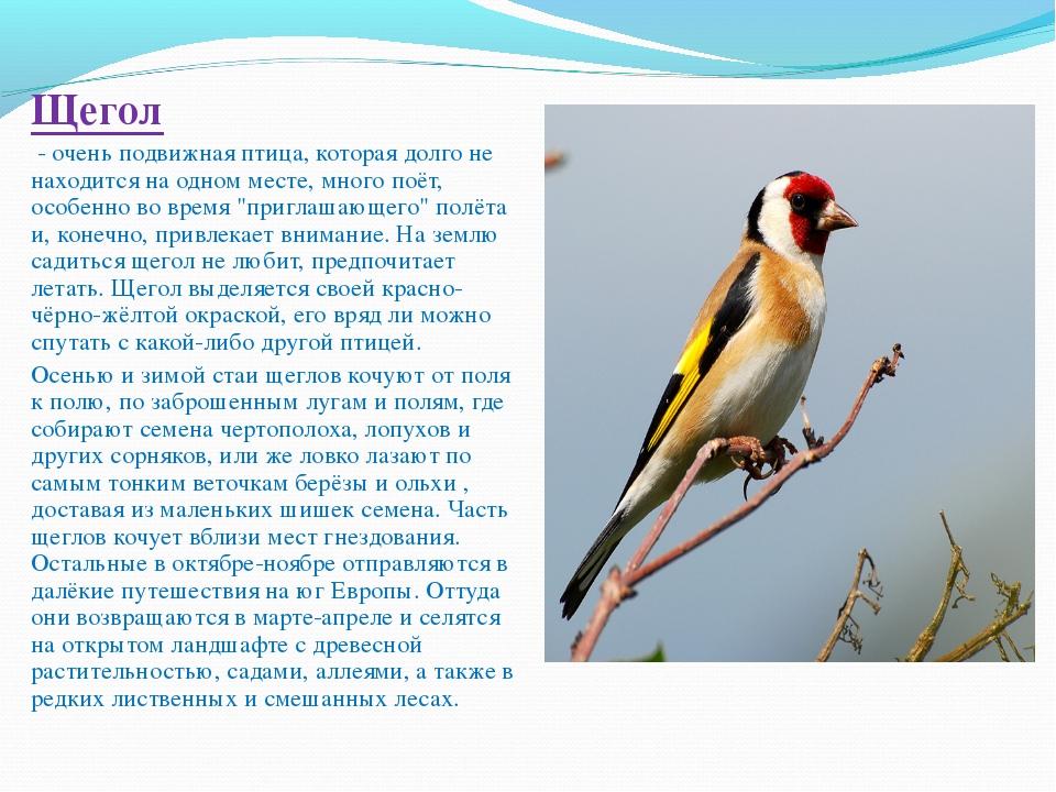Щегол - очень подвижная птица, которая долго не находится на одном месте, мн...