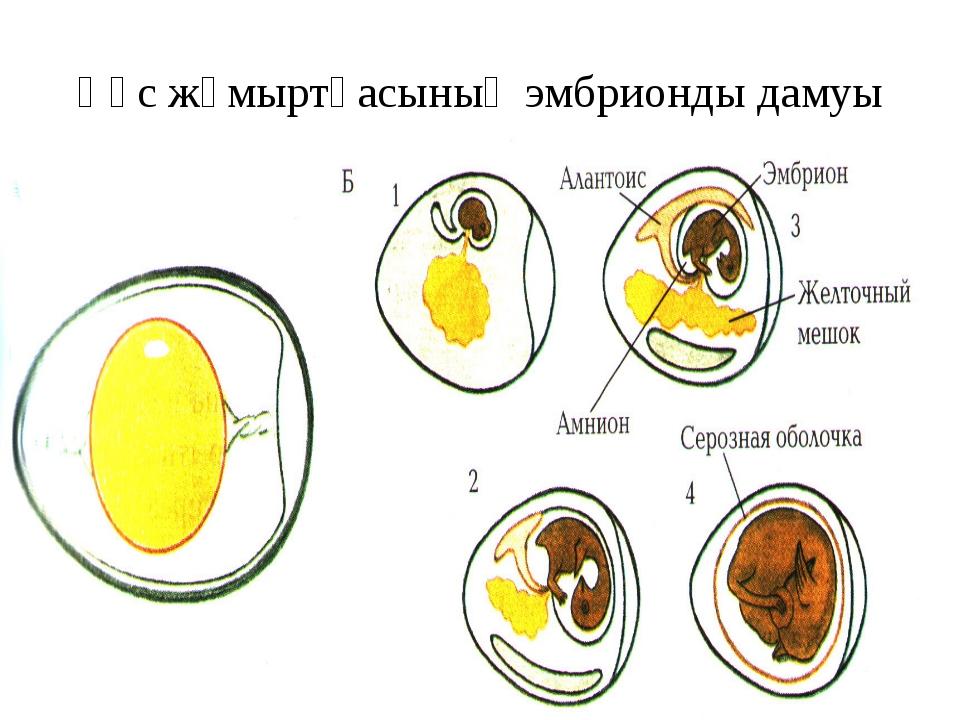 Құс жұмыртқасының эмбрионды дамуы
